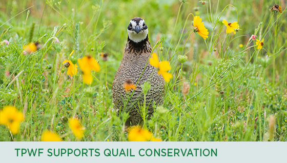 Story #3: TPWF Supports Quail Conservation