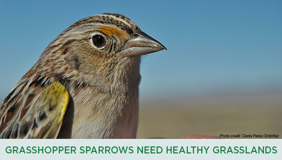 Story #3: Grasshopper Sparrows Need Healthy Grasslands
