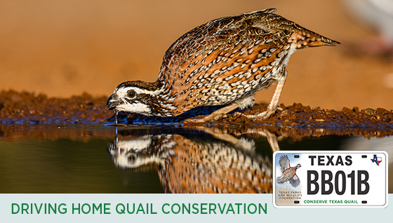 Story #4: Driving Home Quail Conservation
