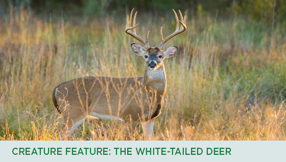 Story #5: Creature Feature: White-tailed Deer