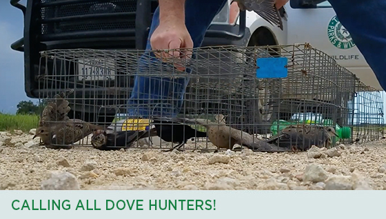 Story #5: Calling all Dove Hunters!