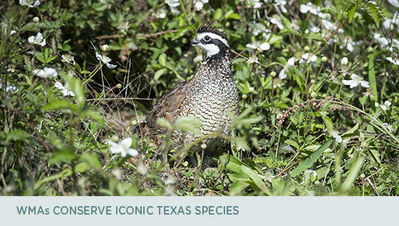 WMAs Conserve iconic Texas Species